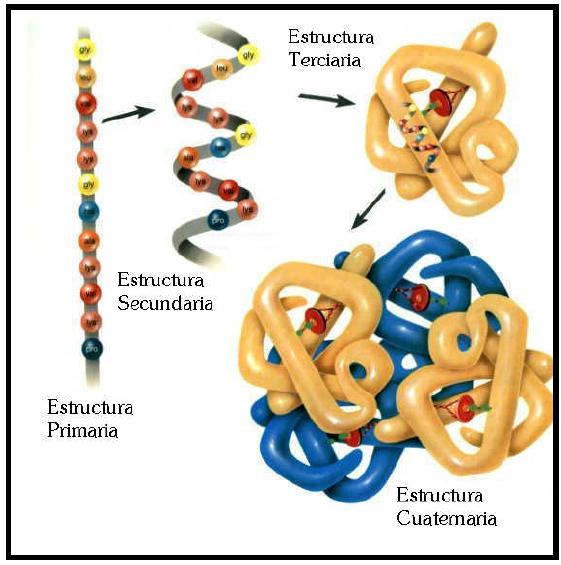estructura proteina
